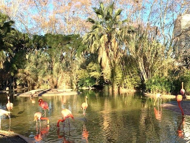 Barcelona zoo: pink flamingos
