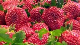strawberries april