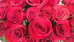 roses de la Sant Jordí